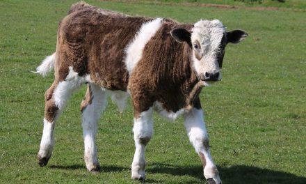 Be A Calf